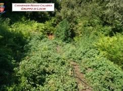 Mammola, rinvenuta piantagione di canapa indiana