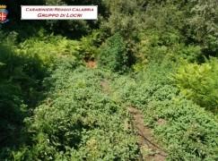 Platì, scoperta piantagione di canapa