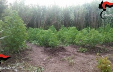 San Luca, sequestrata piantagione di marijuana