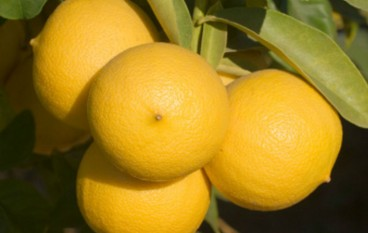 Agricoltura, la Regione sostiene le aziende bergamotticole