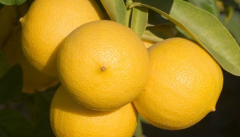 Bergamotto, il dono della natura alla Calabria