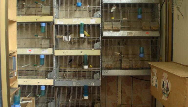 Fiumara (RC), cardellini rinchiusi in gabbie: una denuncia