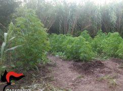 Fiumara, rinvenuta piantagione di canapa indiana