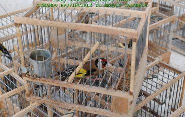 Gallico, una denuncia per detenzione di avifauna protetta