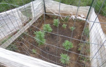 Sequestrate piante di marijuana nel cuore della Sila