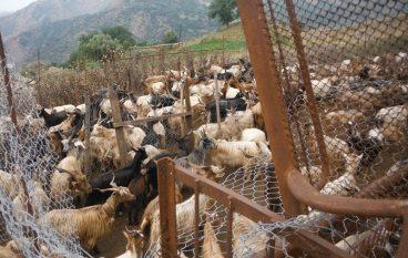 Chorio di Roghudi, stalle fantasma e vacche sacre: una denuncia