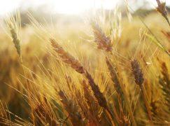 Coldiretti: prezzo del grano crolla, nessun beneficio per i cittadini