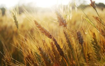 Coldiretti Calabria denuncia una speculazione sul grano