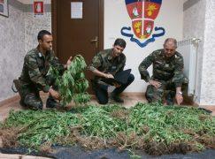 Rosarno, scoperta piantagione di cannabis indica: 2 arresti