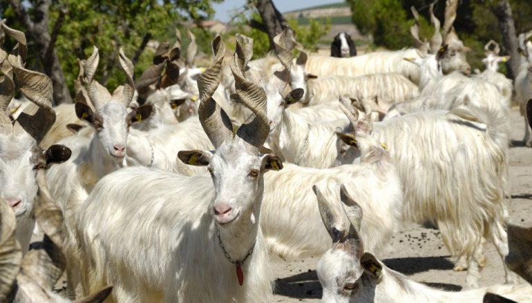 Divieto movimentazione bestiame: pesanti danni per gli allevatori calabresi