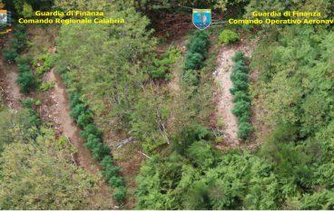 Rinvenute in Calabria otto piantagioni di marijuana