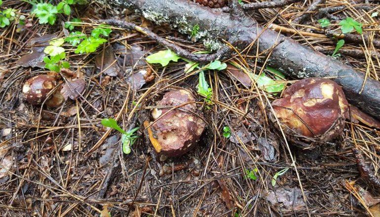 La stagione dei funghi, si prevede una buona annata