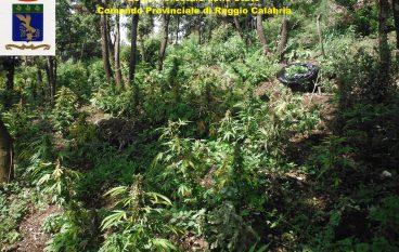 Gioiosa Jonica, scoperta piantagione di canapa indiana: 3 arresti