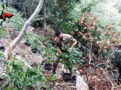 Oppido Mamertina, scoperta piantagione di droga: 2 arresti
