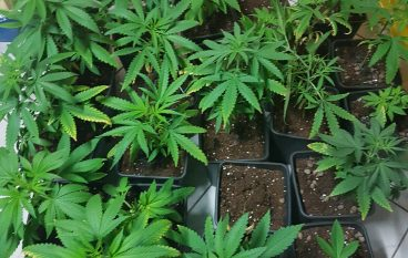 Crotone, scoperta coltivazione di marijuana in abitazione