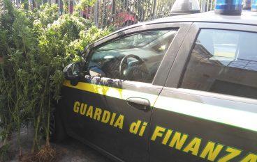 Cosenza, scoperta piantagione di canapa: condannati 2 giovani