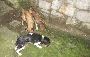Cani ridotti pelle e ossa: denunciato un uomo a Cosenza