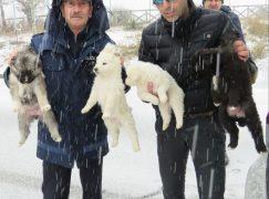 Polizia Provinciale salva in Sila quattro cuccioli abbandonati nella neve