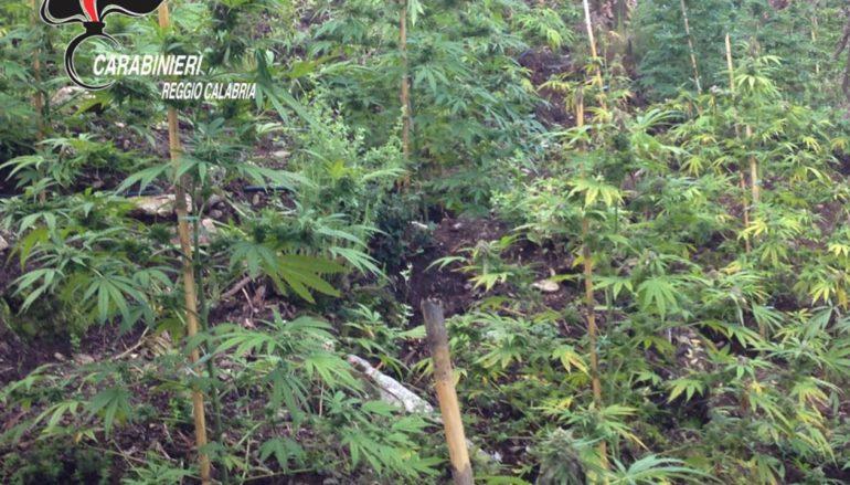 Sequestrate piantagioni di droga nella locride