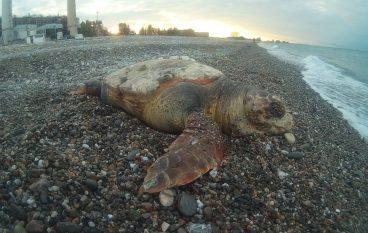 """WWF Rossano: """"Ancora una tartaruga uccisa nei nostri mari"""""""