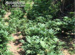 Careri, rinvenute due piantagioni di canapa indiana