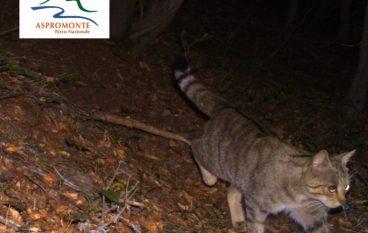 Parco Aspromonte, gatto selvatico catturato dalle fototrappole