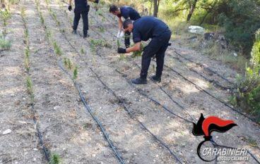 Focus 'ndrangheta, rinvenute quasi mille piante di canapa indiana nella Locride
