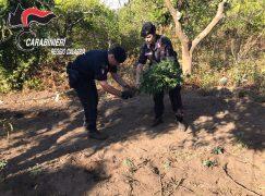 Gioia Tauro, sequestrata piantagione di marijuana