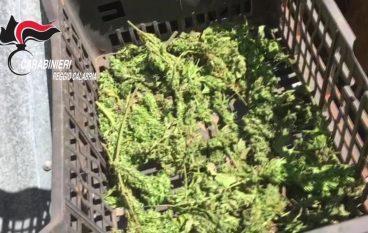 Catanzaro, oltre 3000 piante di cannabis sequestrate dalle Fiamme gialle