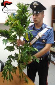 cc marijuana