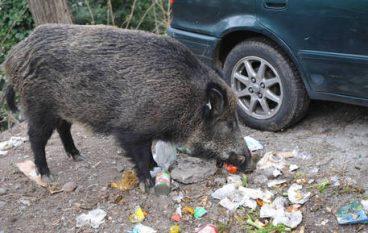 I cinghiali in Calabria vivono con gli agnelli