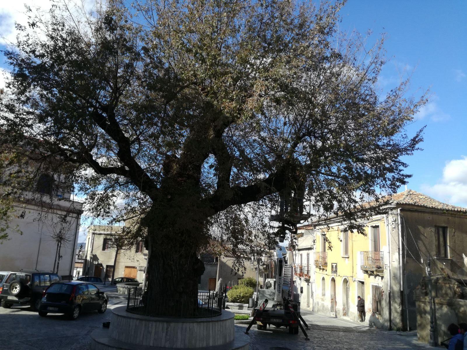Olmo di San Lorenzo