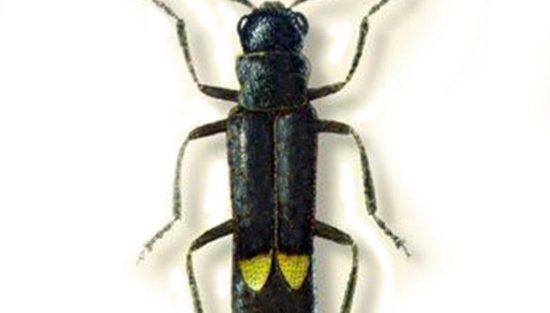 Nuovo insetto Montalto: il Malthodes rheginus