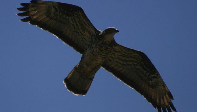 Uccelli rapaci europei, al via il corso dell'Ente Parco