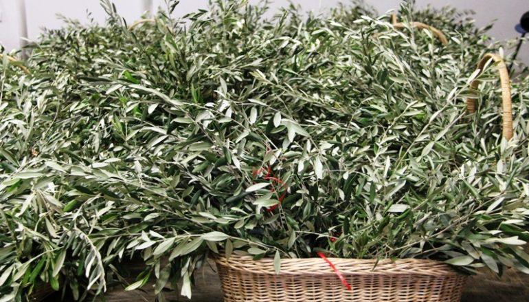 Domenica delle Palme a San Pietro con i ramoscelli d'ulivo calabresi