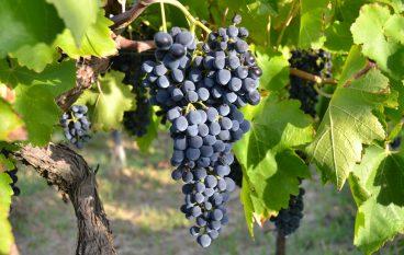 Il Nerello di Egua tra le produzioni vitivinicole mottesi