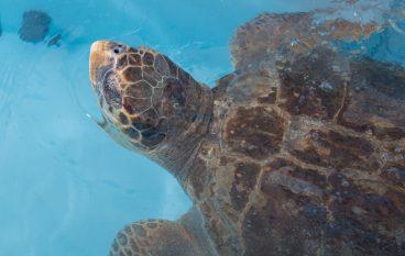 La tartaruga Nazzareno torna in mare, una storia a lieto fine