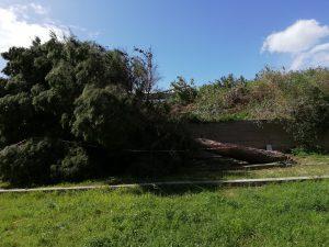 Crolla albero a Lazzaro - Motta S. G.