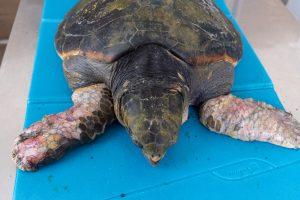 Tartaruga soccorsa a Pellaro