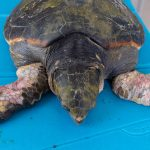 Morta la tartaruga Afrodite, vittima dell'incuria umana