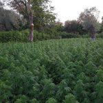 Coltivazione cannabis, arresti in Aspromonte