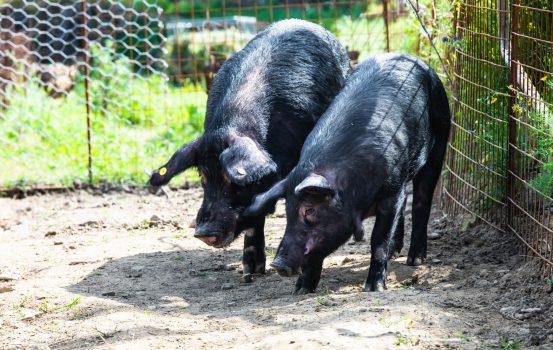 Il maiale nero d'Aspromonte, una risorsa per la Calabria