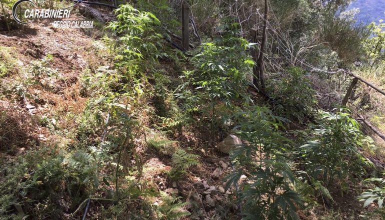 Cannabis a Roghudi Vecchio, scoperte 390 piante