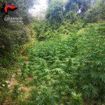 Marijuana nella Locride, rinvenuta piantagione