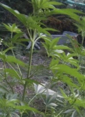 Coltivazione di cannabis a Bagaladi, in arresto due melitesi